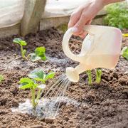 Как правильно удобрять клубнику