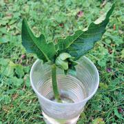 Как размножать черенками розы, георгины, виолы: мастер-класс
