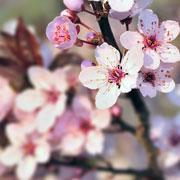 Павел Траннуа: Сохнут листья на вишне, ягод мало? Выращивание вишни без болезней
