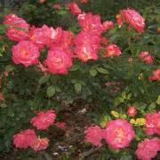 Все способы защитить розы от предстоящих холодов
