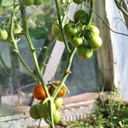 Фитофтора на помидорах, паутинный клещ на огурцах: как бороться?