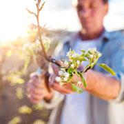 Павел Траннуа: Почему яблоня не плодоносит? 4 причины - и обрезка яблони летом