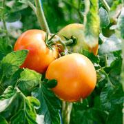 Как часто поливать и чем подкармливать огурцы и помидоры