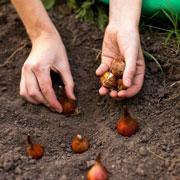 Когда сажать тюльпаны, выкапывать гладиолусы, убирать картошку и морковь