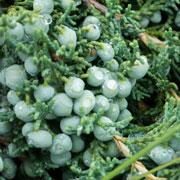 Павел Траннуа: Когда сажать, весной или осенью: хвойники и плодовые деревья?