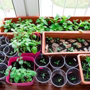 Выращиваете рассаду на подоконнике? Не рассчитывайте на солнце в феврале и марте!