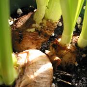 Выгонка луковичных растений в домашних условиях