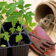 При какой температуре выращивать рассаду