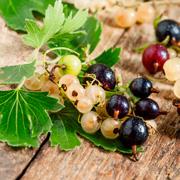 Черная смородина с зелеными ягодами