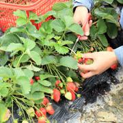 Стоит ли сажать клубнику под черный укрывной материал