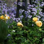 15 компаньонов для роз, фото. Миксбордеры из многолетников