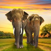 Спаривание или секс: зачем нужен хобот. Чем слоны похожи на людей