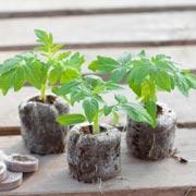 Геннадий Распопов: Как вырастить рассаду помидоров: главные секреты
