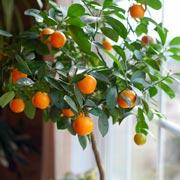В. Дадыкин : Комнатное деревце из семечка: выращивание цитрусовых дома