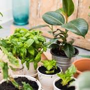 Е.Р. Краснушкина: Комнатные растения - очистители воздуха жилищ