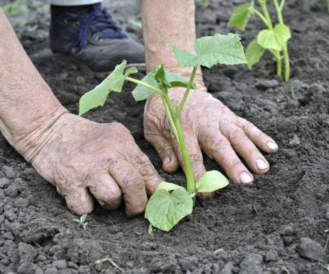 Посадка огурцов в теплице семенами. Видео