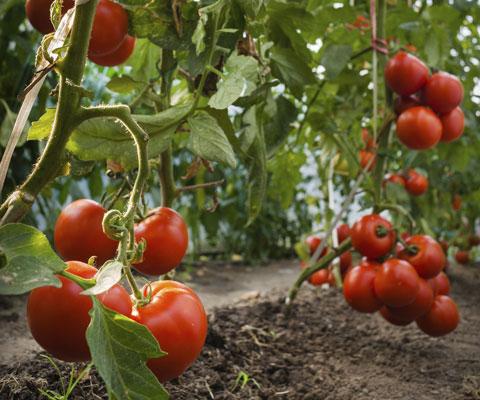 Когда сажать рассаду помидор в теплицу
