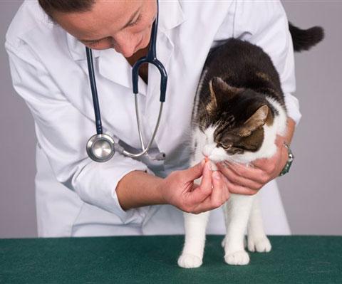 Лечение глистов у кошки выявление симптомов и профилактика