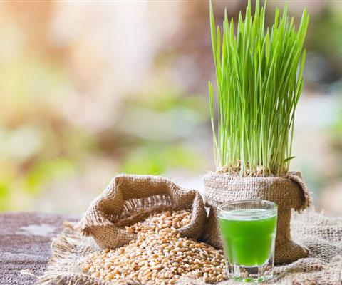 Как есть пророщенную пшеницу в домашних условиях