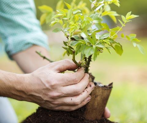 Посадка плодовых деревьев весной и осенью