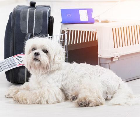 Как перевезти щенка в поезде, машине, самолете?