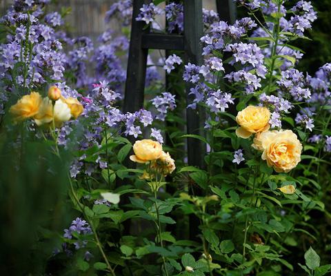 15 компаньонов для роз, фото. Миксбордеры из многолетников. Миксбордер из роз