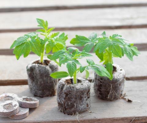 Как вырастить рассаду помидоров: главные секреты