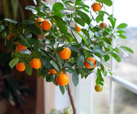 Цитрусовые комнатные растения уход выращивание в домашних условиях из косточки
