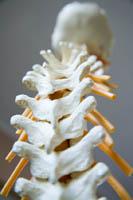 Как растут кости и зубы