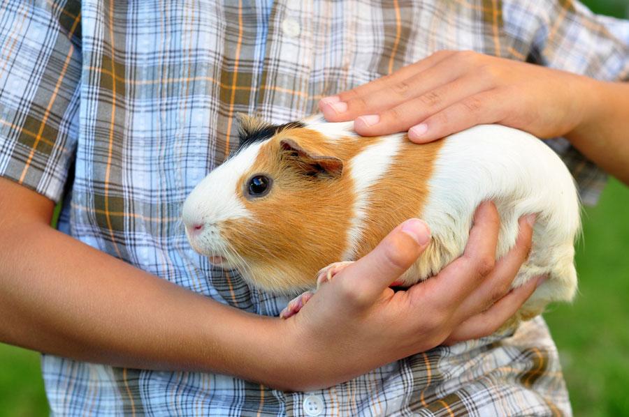 Как ухаживать за морскими свинками