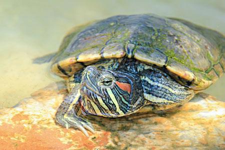 Уход за красноухими водными черепахами