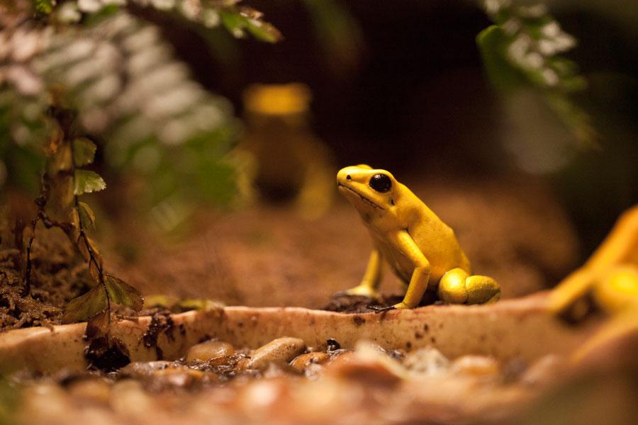 Лягушка листолаз
