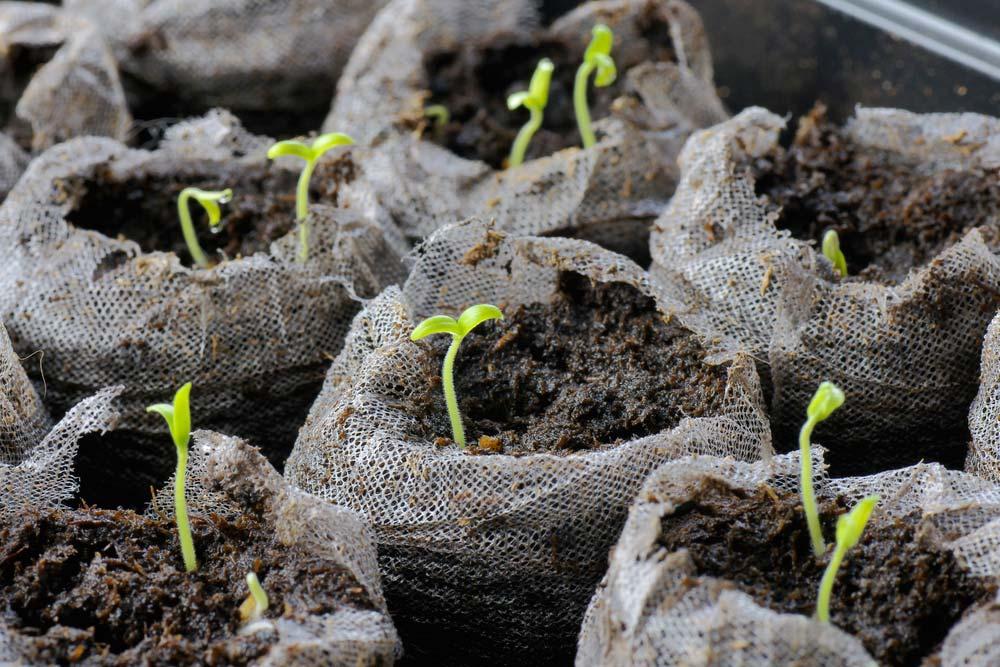 Выращиваем многолетники из семян