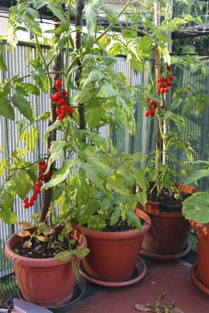 Как вырастить на балконе овощи