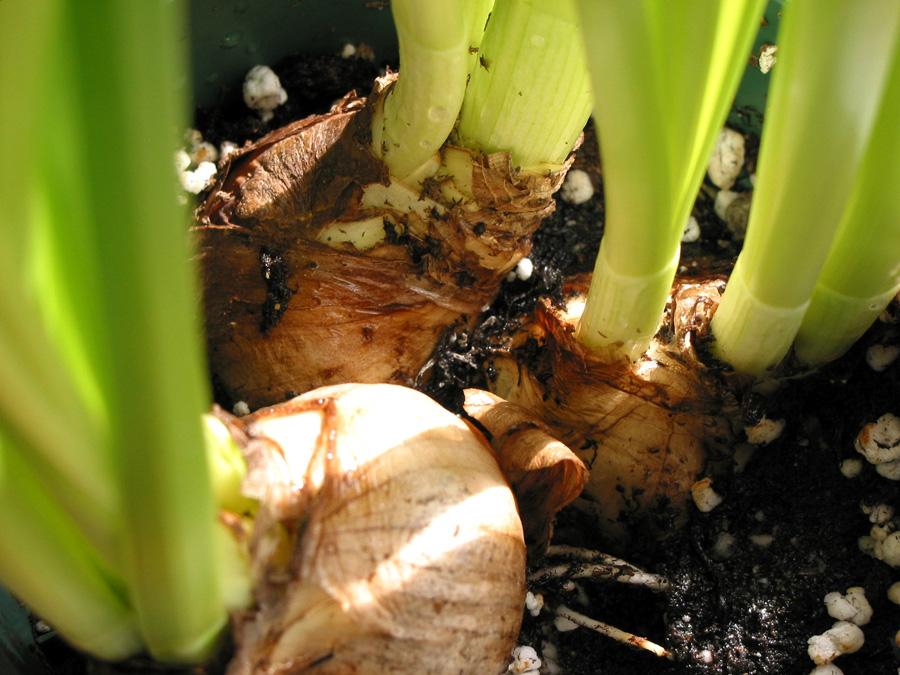 Как заставить цвести луковичные растения дома