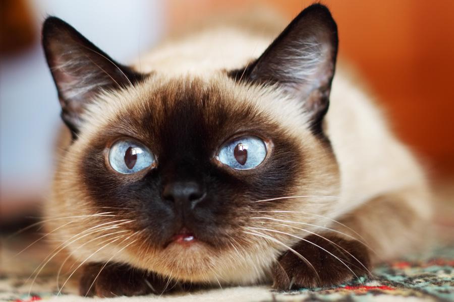Что опасно для кошки летом на даче