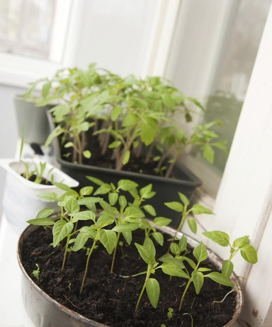 Что можно выращивать на окне