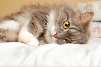 Первая помощь при травмах у кошек