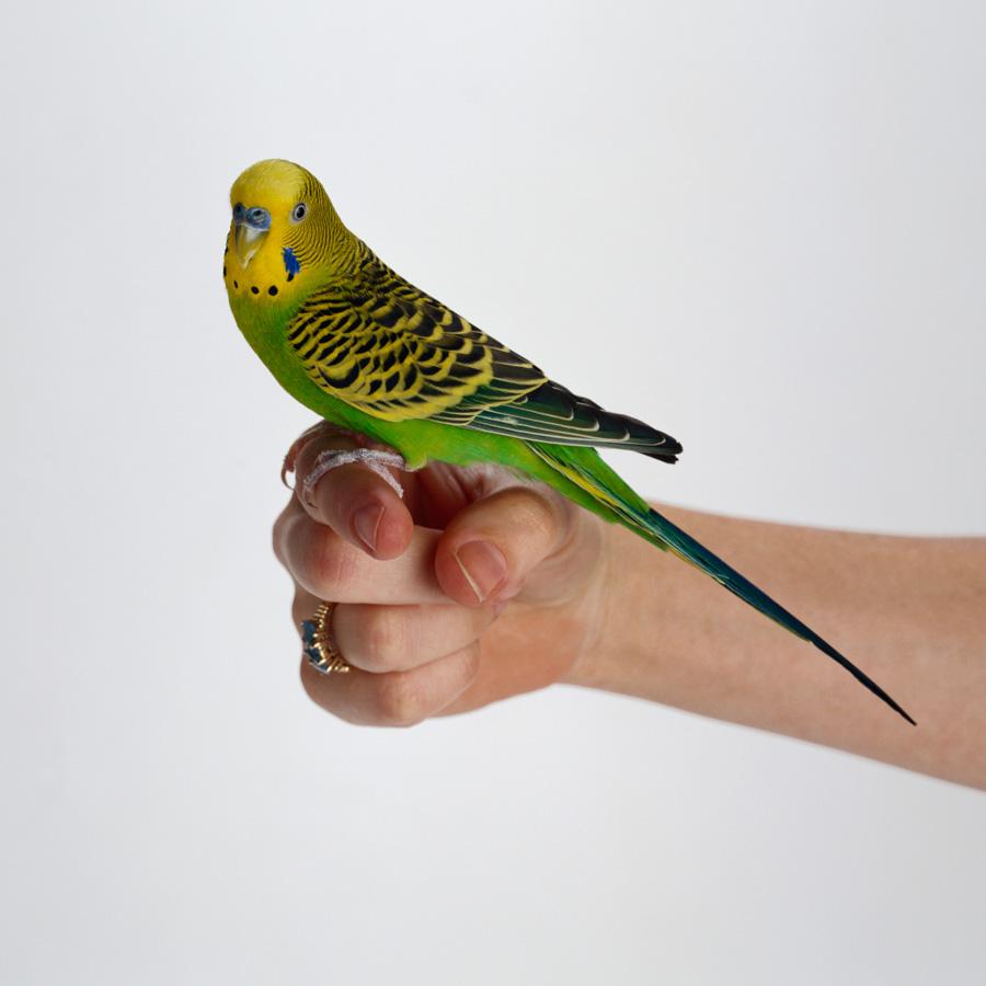 Купить домашнего попугая