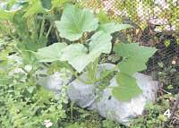 Выращивание овощных культур на вертикальных поверхностях