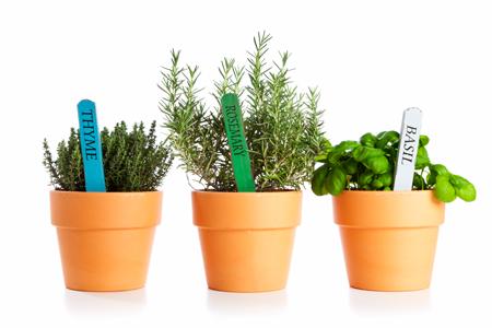 Базилик, розмарин, тимьян: выращивание из черенков