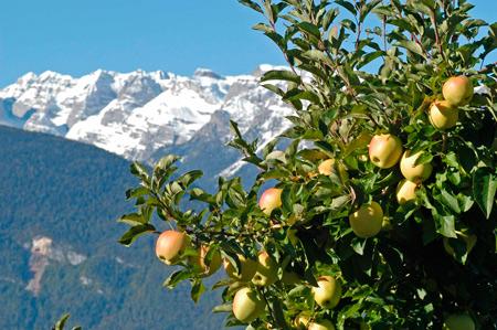 Яблоки From Итальянские Альпы