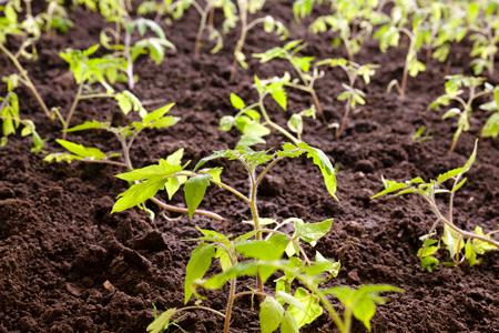 Выращивание рассады помидор для теплицы: советы Ганичкиной