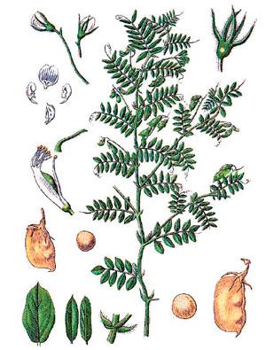 Растение чечевица