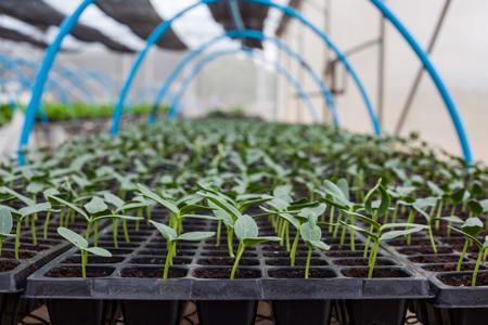 Выращивание огурцов в открытом грунте: рассада не нужна
