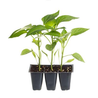 Выращивание рассады перца из семян. Когда высаживать перец в грунт?