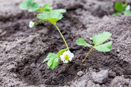 Клубника весной и в начале лета: выращиваем, как в лесу