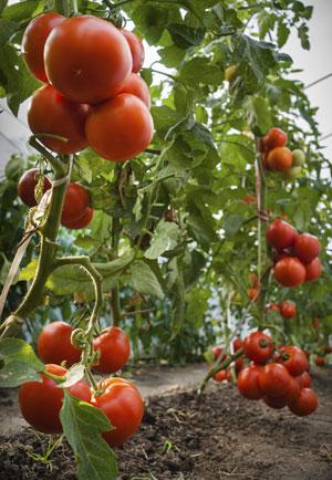 Рассада помидоров: когда высаживать в теплицу и как защитить от заморозков