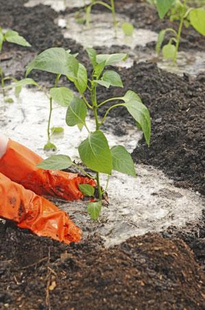 Перец в теплице: когда сажать рассаду и как добиться хорошего урожая