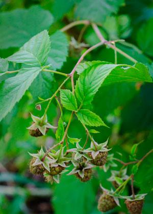 Выращивание малины: как увеличить урожай и сколько поливать